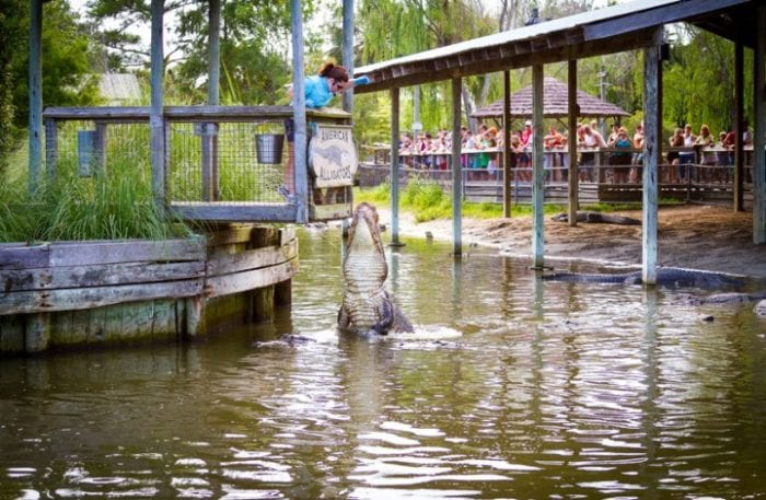 alligator feeding at alligator adventure